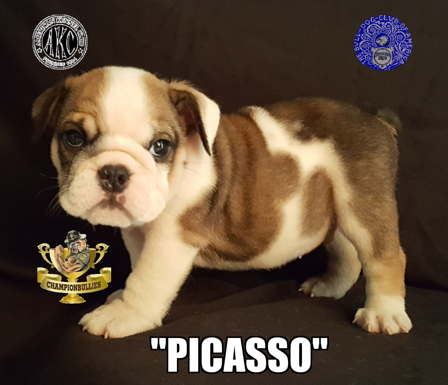 English Bulldog Breeder, English Bulldog Puppies For Sale